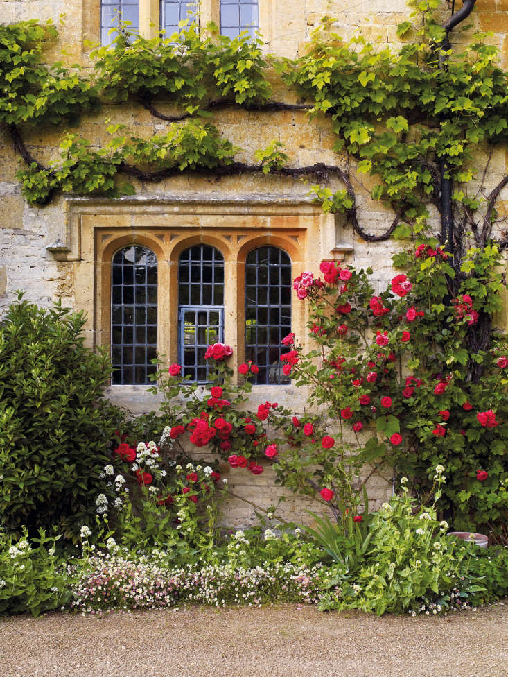 Paul&#8\2\17;s Scarlet rosemingles with grape vine on a house in theCotswolds. At their feet: iris, white valerian (Centranthus ruber &#8\2\16;Albus&#8\2\17;), and daisy-like Erigeron karvinskianus.