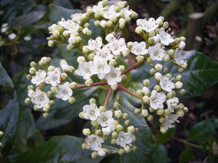 Evergreen flowering Viburnum tinus also makes a great hedge. Photograph by Me via Wikimedia.