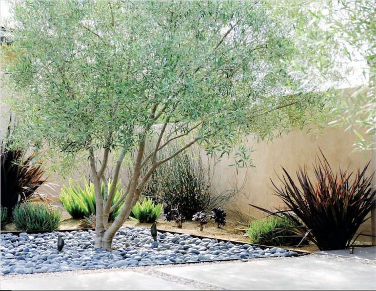 For clients who wanted a low-water, low-maintenance garden, Richard Risner of Grounded Modern Landscape Architecture planted asparagus fern, aeonium, and aloe beneath a single olive tree.