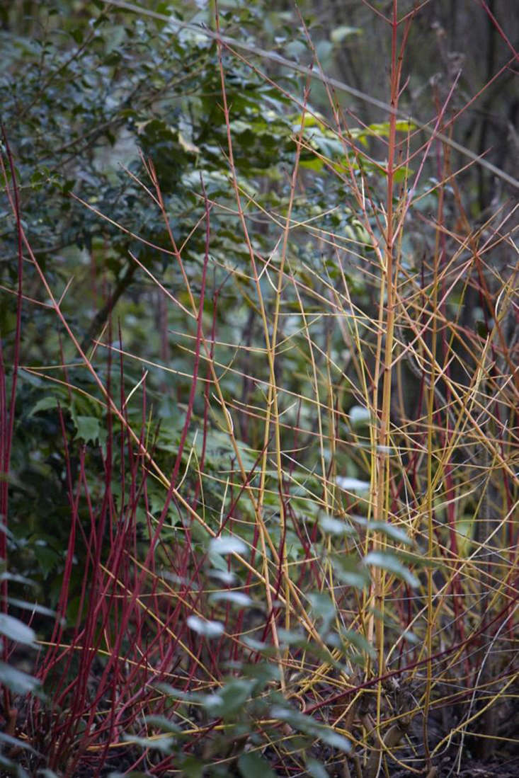 Cornus albais most commonly grown in British gardens, while C. sanguinea is the hedgerow native.