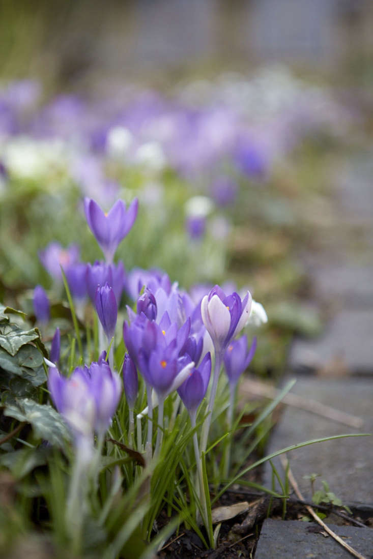 Crocus growing by a path.