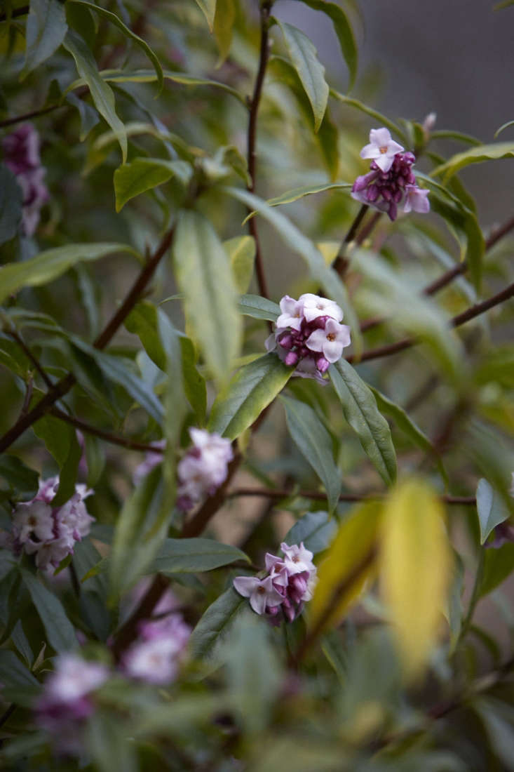 Daphne odora has small clusters of pink blossoms.