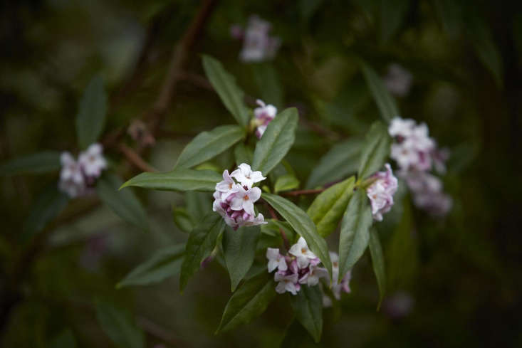 Flowering daphne in spring.