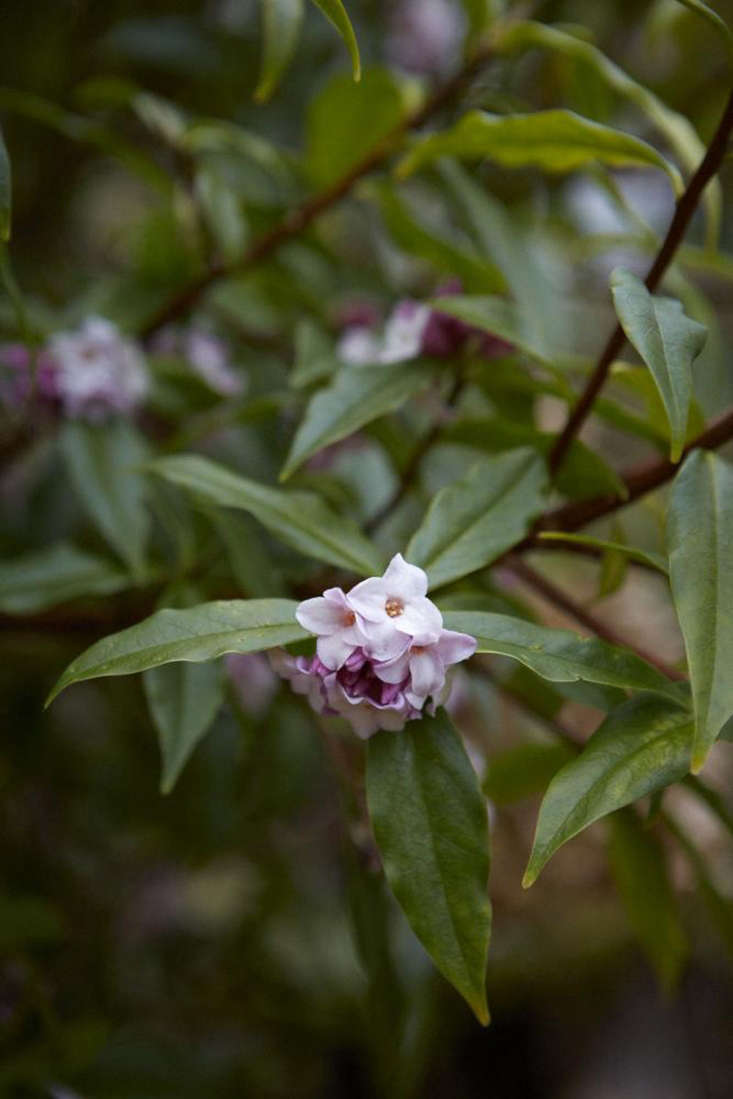 Daphne can be yellow in flower, and its leaves can be variegated.