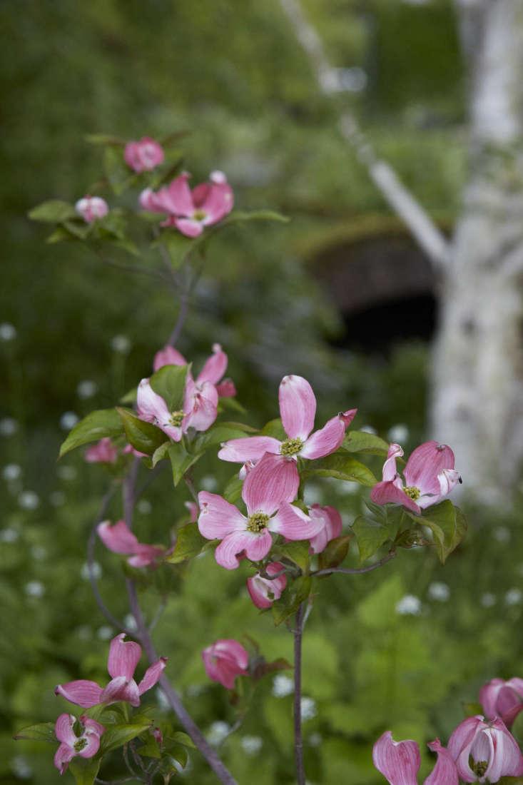 Flowering dogwood, Cornus florida.