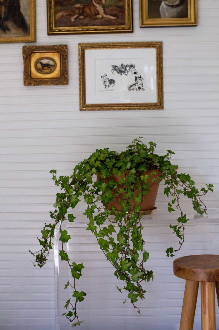 English Ivy is will tolerate low light. See more in Best Houseplants: 9 Indoor Plants for Low Light. Photograph by Mimi Giboin.