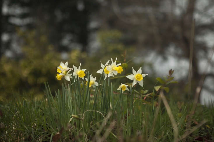 Narcissus narcissus at Madresfield Court.
