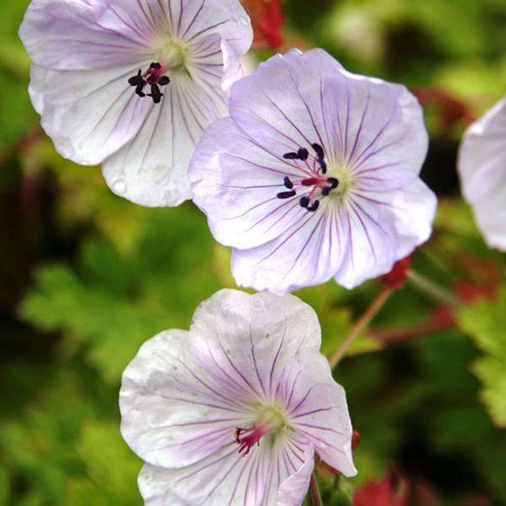 Geranium &#8\2\16;Lilac Ice&#8\2\17; Cranesbill is £8.99 per plant from Crocus.