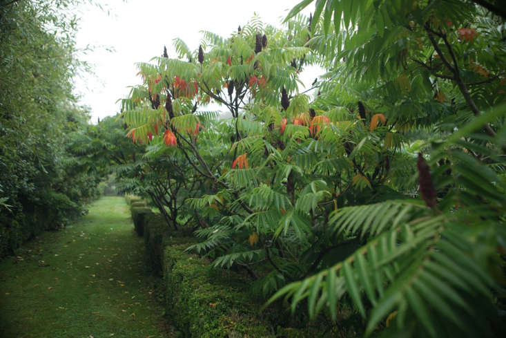 Stag&#8\2\17;s Horn sumac (Rhus typhena) also known as &#8\2\20;weed tree&#8\2\2\1; self-seeds freely, which would be problematic in a smaller space. Enclosing something this prolific behind a semi-formal line of boxwood makes everything look intentional.