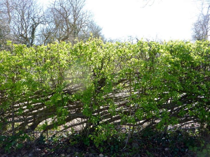 Hedge laying encourages healthy new growth.