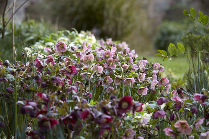 A carpet of hellebores, as seen in this week&#8\2\17;sGarden Visit: A Carpet of Color in the Cotswolds.Photograph by Britt Willoughby Dyer.