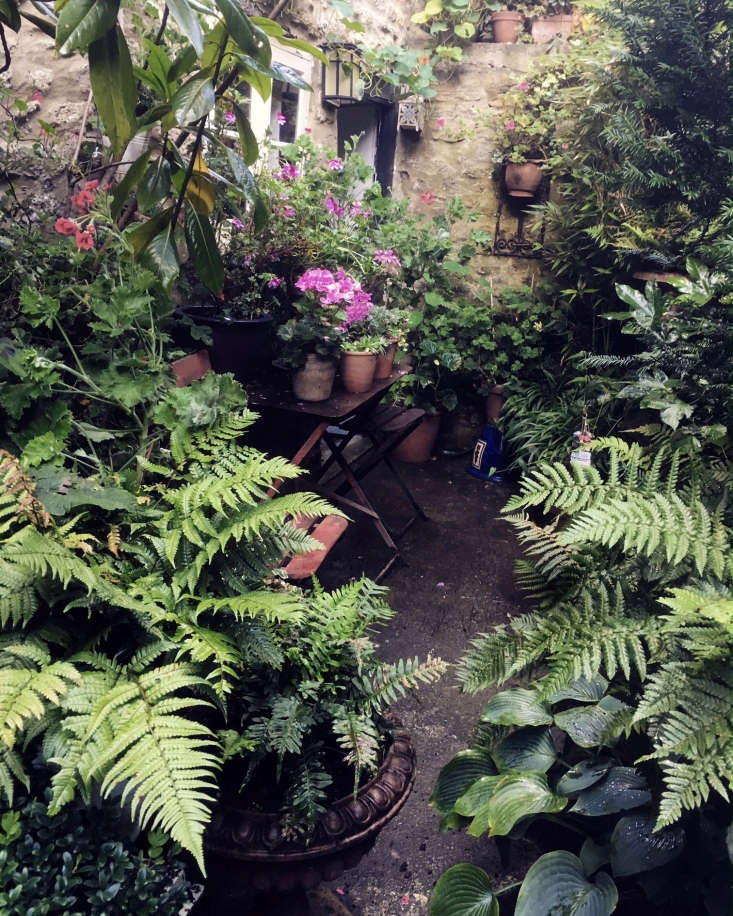A table by the back door groans with more plants, including Pelargonium graveolens which gives off a delicious scent when anyone brushes past. Higher up small terra cotta pots are lined up on stone ledges.