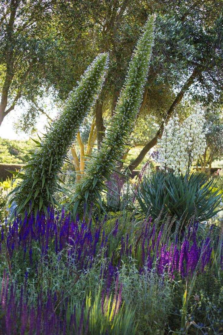 Echium pinnana, towering over purple spikes of Salvia nemerosa.