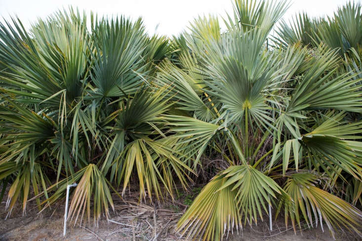 Braheas, hardy fan palms, are native to Mexico. Drought tolerant, they also are common in desert gardens in Southern California.
