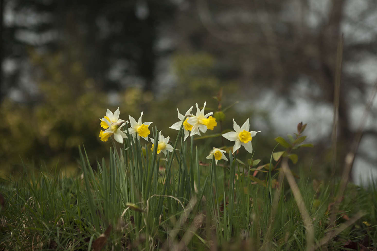 Narcissus at Madresfield Court. See more at Garden Visit: Daffodil Days at Madresfield Court. Photograph by Jim Powell.