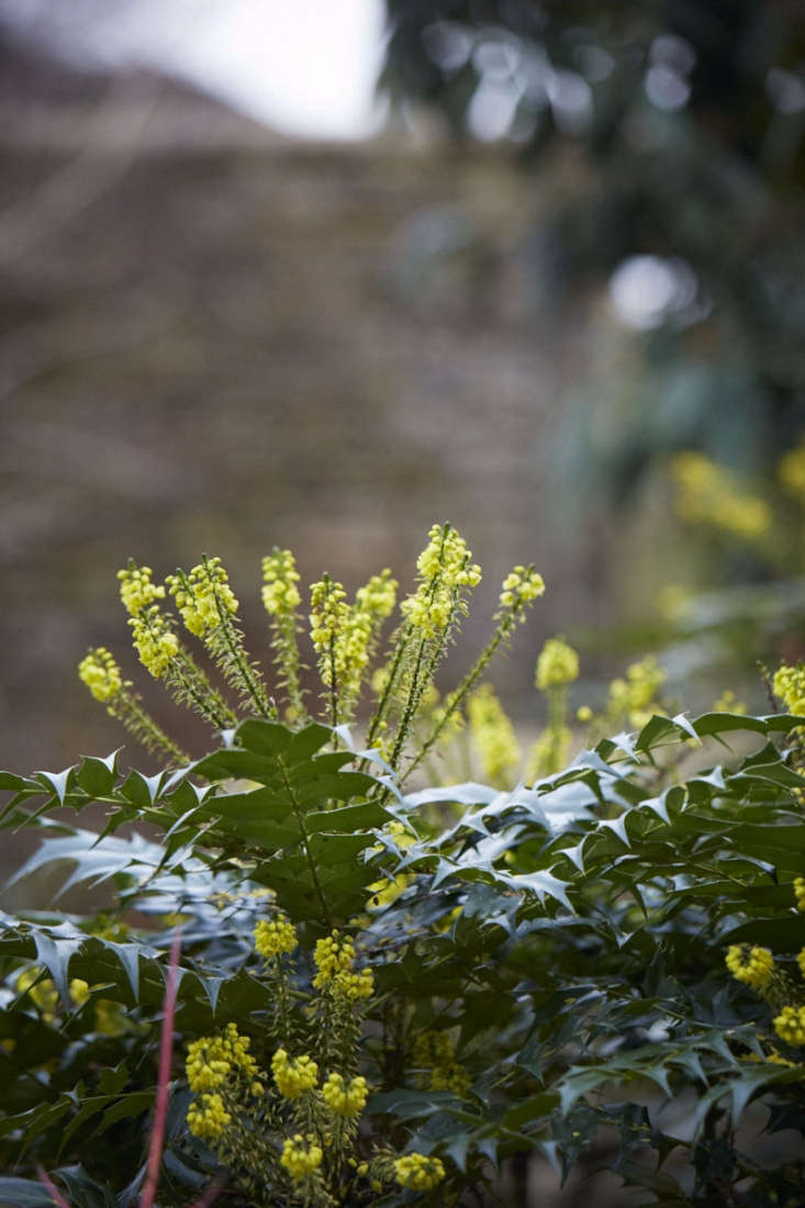 The mahonia has to be taken in hand to behave, otherwise all its acid yellow flowers will be waving over your head, giving the birds but not you a good display. But prune carefully and you can keep the upper hand.
