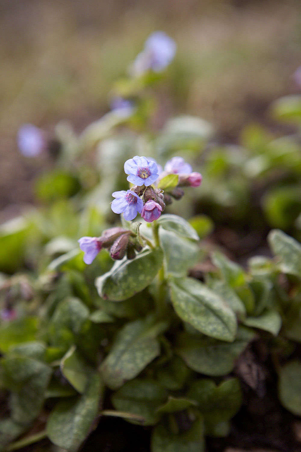 Althoughpulmonaria is considered a useful plant for a shaded or semi-shaded place, blue varieties aregenerally more tolerant of sun. For the best blues, stick toP. longifolia and angustifolia.