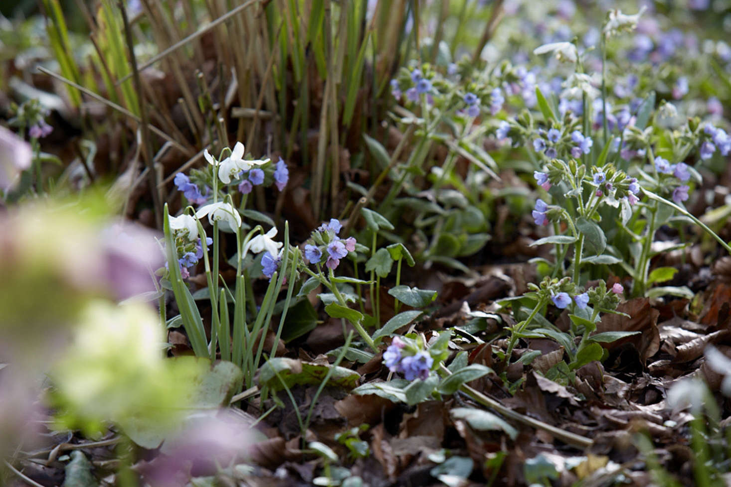Pulmonaria makes a well-behaved, early-flowering ground cover under shrubs and deciduous trees.