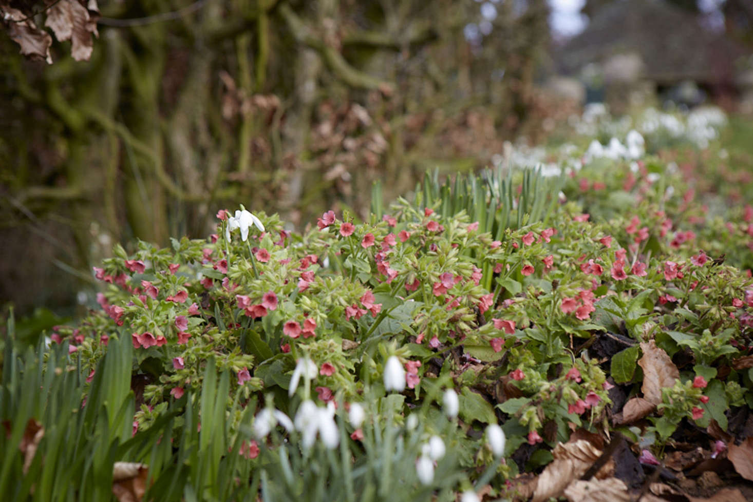 Early flowering Pulmonaria is an excellent source of nectar.