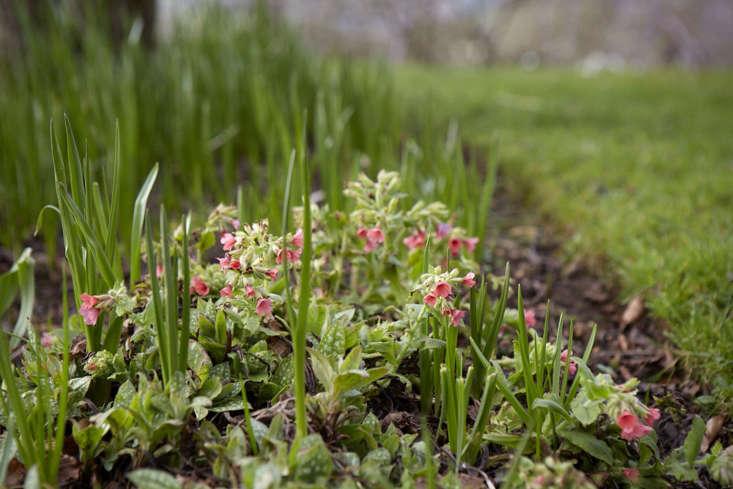 Pulmonaria in spring.