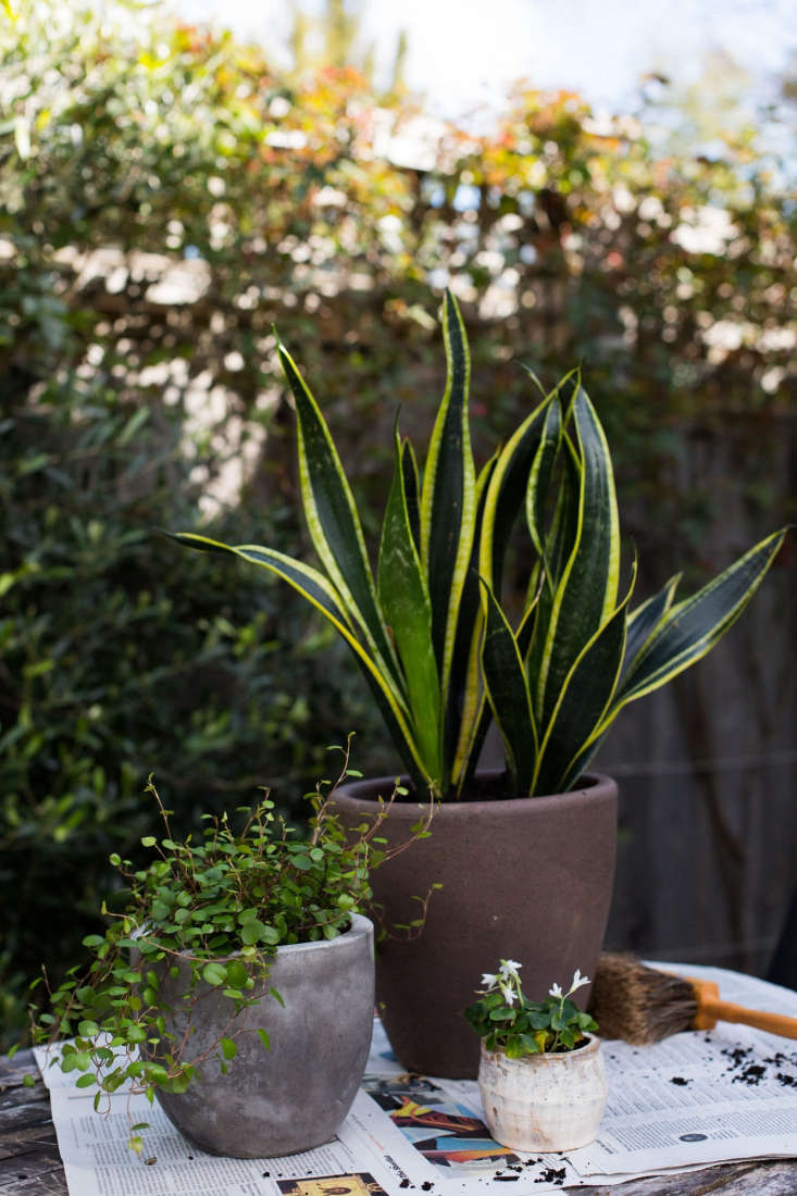 Sansevieria is happy to go outdoors in warm weather. Photograph by Mimi Giboin for Gardenista.