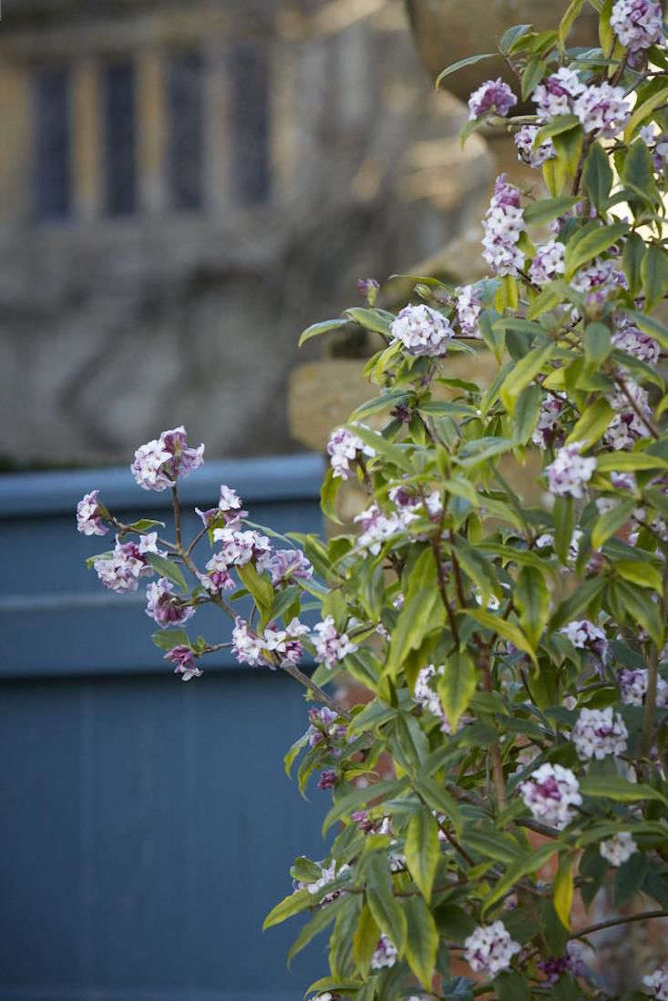 Daphne grows at the gates of Hidcote Manor.