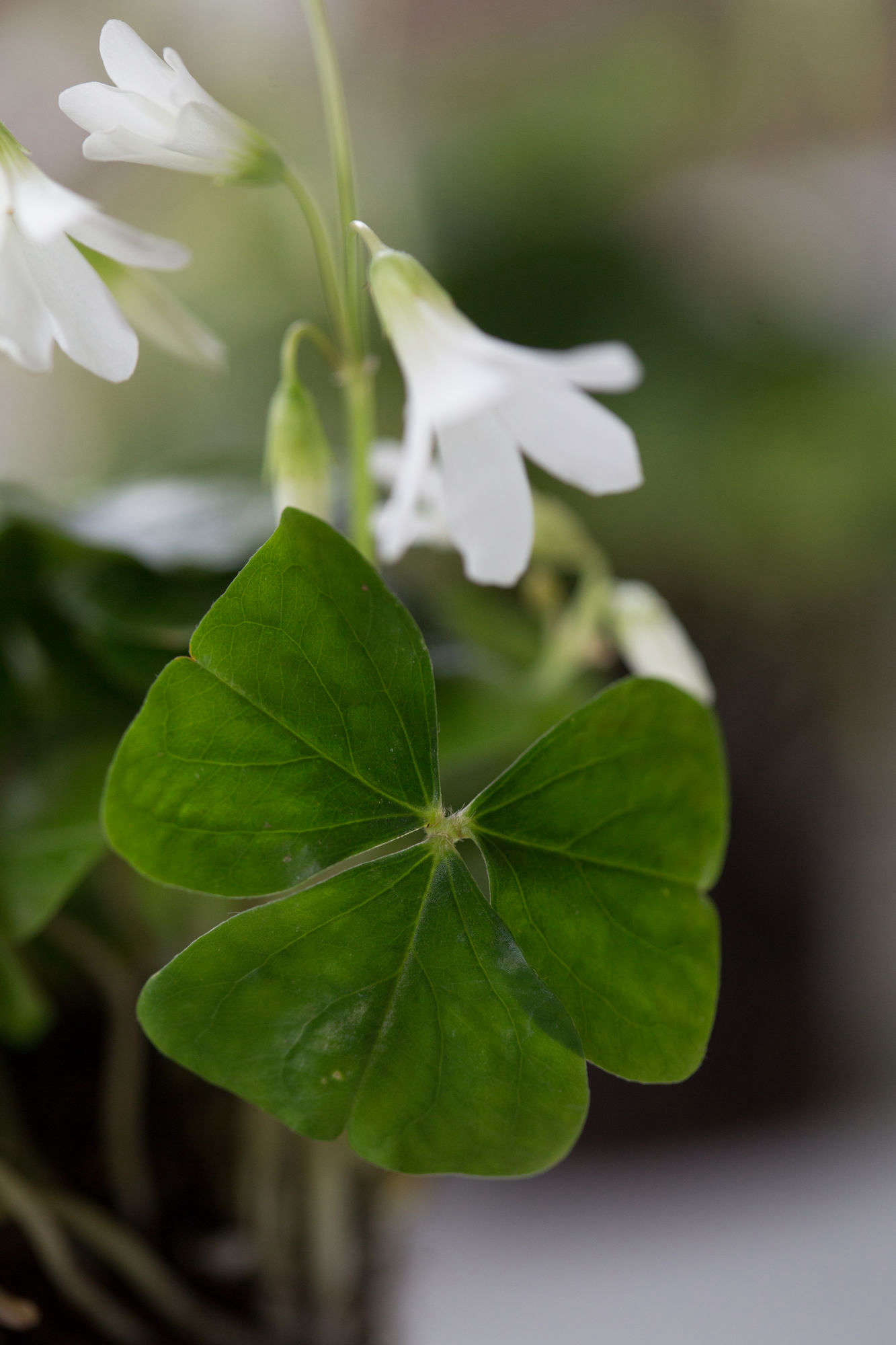 What makes this a falseshamrock? It has three leaves instead of four. (A four-leafed clover is rare, and the result of a mutation.)