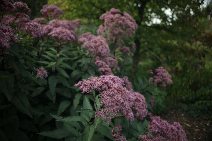 Eupatorium in a large garden. Giantshrubssuppress weeds but make sure they are interesting. Climbers like clematis and honeysuckle will grow horizontally.