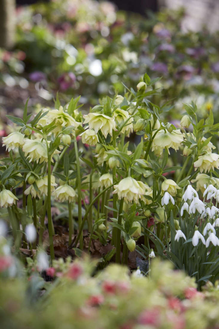 Hellebores are in abundance here, including many doubles which are hybridized seedlings of the 'Party Dress' strain in combinations of lime green, cream, and pale pink.