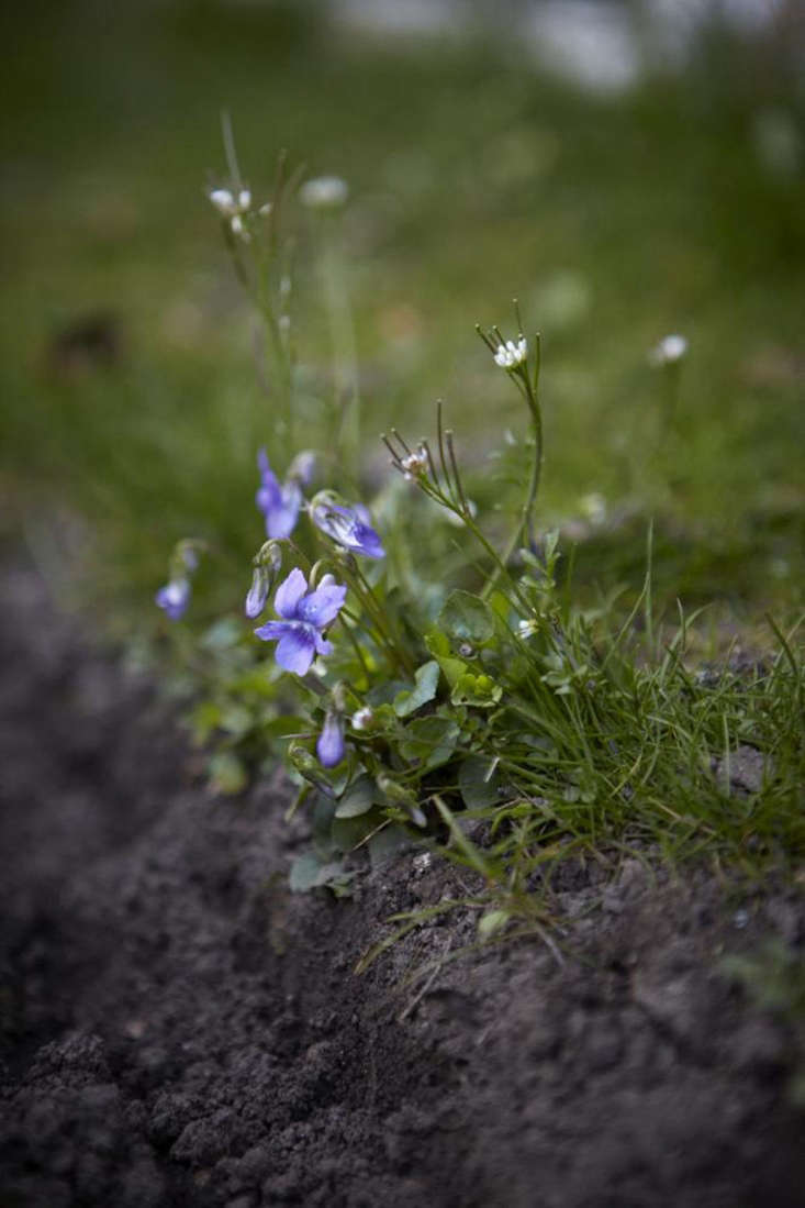 Violets growing on a bank with Shepherd&#8