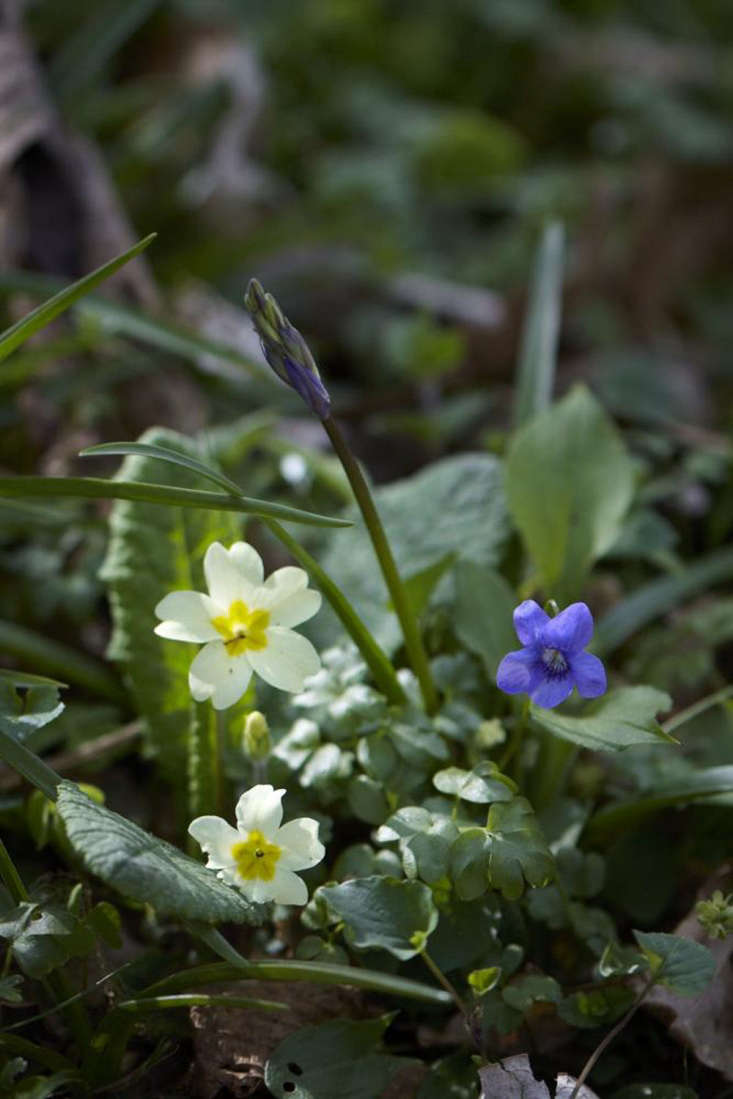 Violets form a &#8\2\20;flowery mead&#8\2\2\1; in spring with primroses, (as shown), wood anemone, celandine, and cowslips.