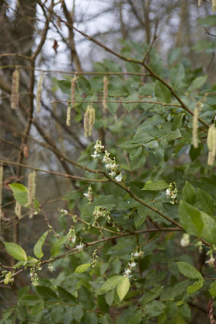 But Lonicera fragrantissima &#8