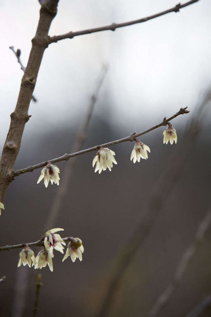 Like most of the deciduous winter flowering shrubs, winter sweet or Japan allspice (Chimonanthus praecox) flowers directly on the bare stems.