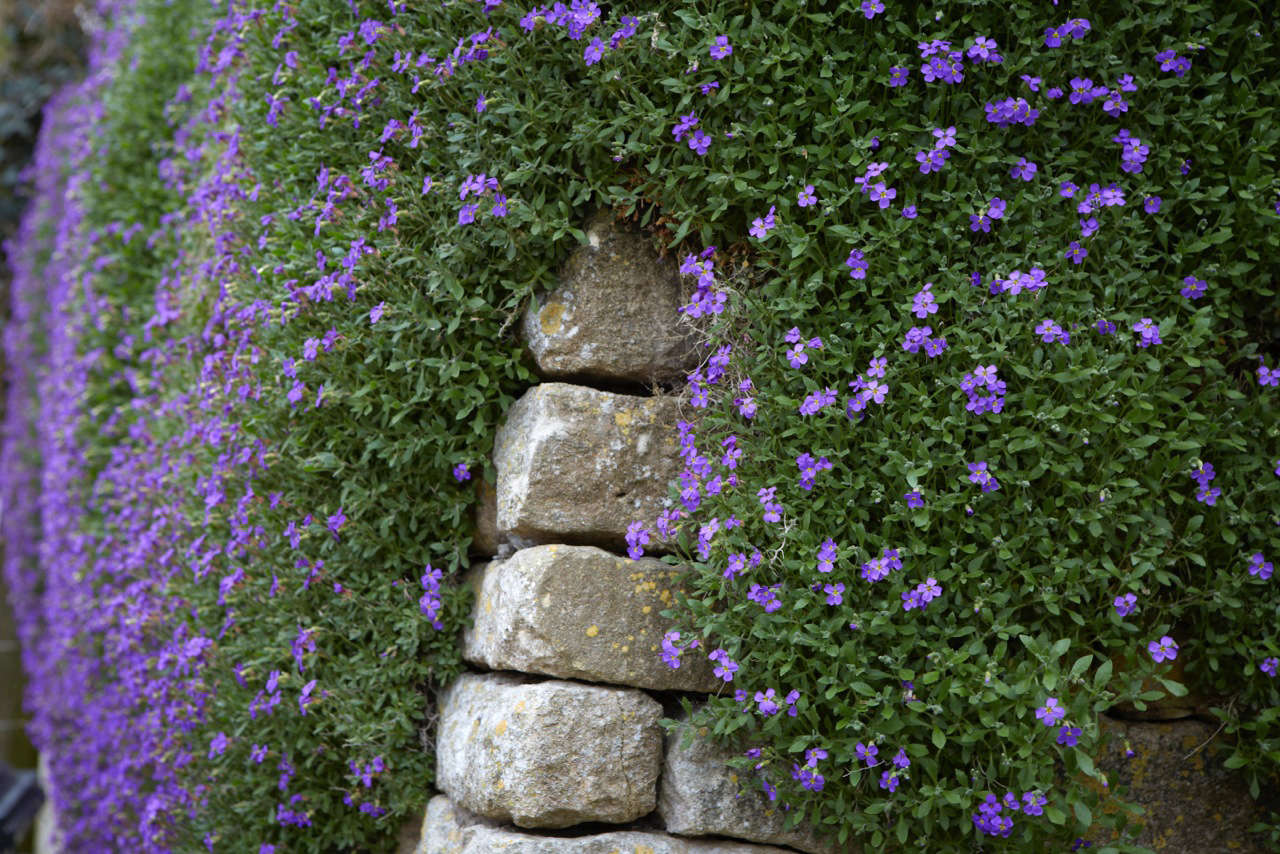 Aubretia artfully covering a stone wall.