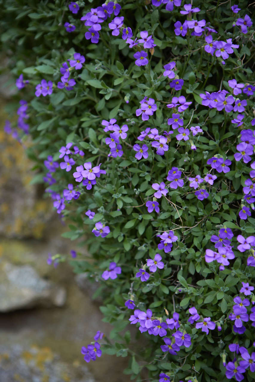 Aubretia growing over a stone wall in early spring.