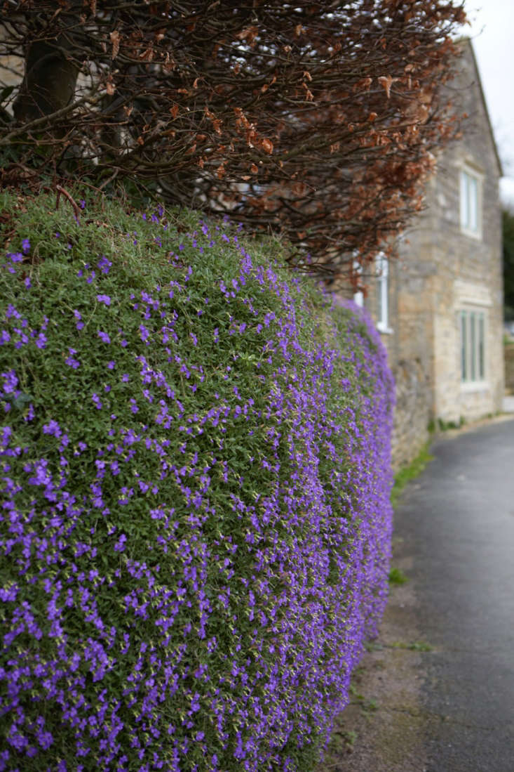 Aubretia provides intense color as well as essential nectar when the days are still dark. It is also a good cover for insect life.