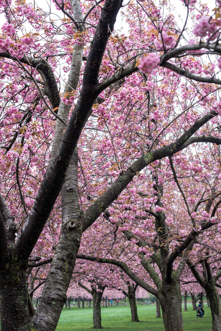 &#8\2\16;Kanzan&#8\2\17; trees are the most prevalent at the Brooklyn Botanic Garden, creating canopies of pink.