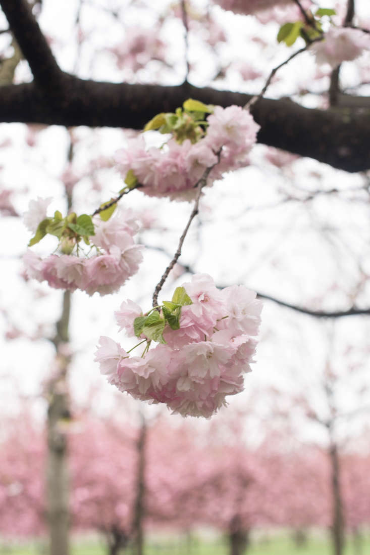 Classic beauty: the pink blooms of the Prunus serrulata &#8