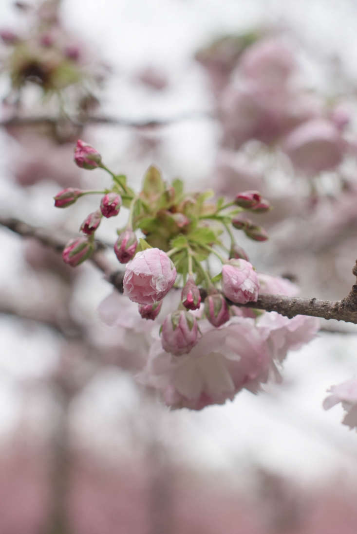 Deep pink buds open into softer pink blossoms.