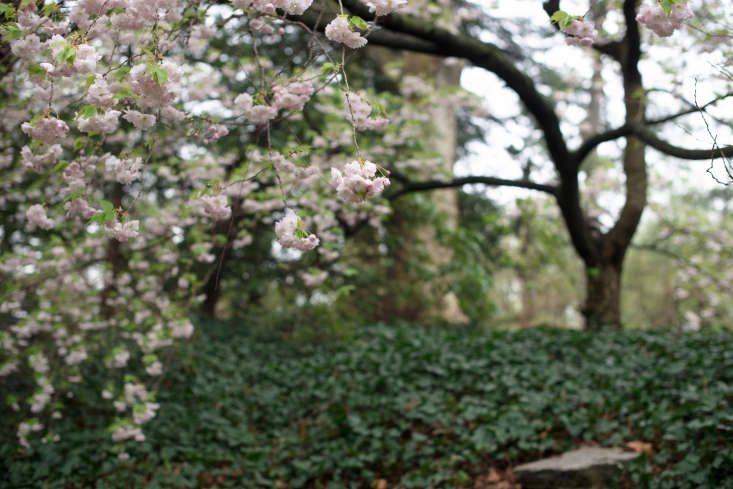 At the Brooklyn Botanic Garden, Japanese flowering cherry &#8
