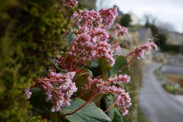 Bergenia, providing nectar in early spring.