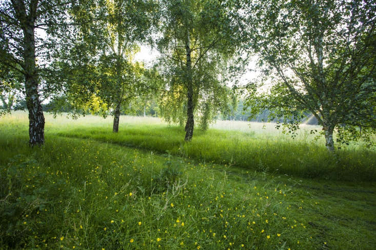 Birch trees in long grass with buttercups, England, where lawn mowing is held in check.