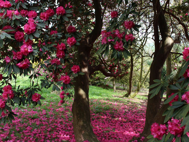 Acid-loving plants like rhododendrons will enjoy a nice layer of coffee grounds. Photograph by Kendra Wilson, from Rhododendrons and Memories of Manderley: A Garden Visit.