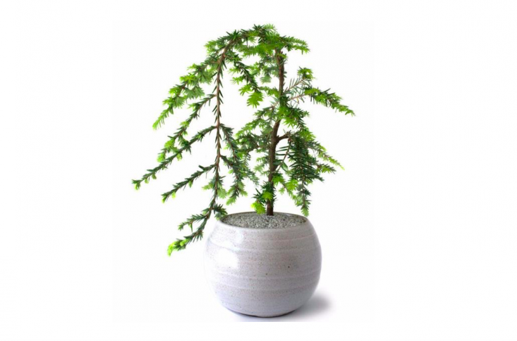 A medium size&#8\2\16;Nolan&#8\2\17; the Canadian Hemlock is \$90. Growing tips: &#8\2\20;Soft feathery foliage and a sweeping form adds to the grace and character of this hemlock. In spring, chartreuse green needles form at the tips of aged branches, welcoming the new year&#8\2\17;s prospects,&#8\2\2\1; says Dandy Farmer.