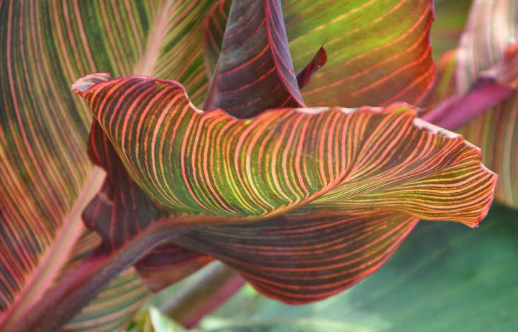 Canna &#8\2\16;Tropicanna Gold&#8\2\17;. Photograph by Ted via Flickr. A Canna Lily Tropicanna Gold bulb is \$\16.\19 from High Country Gardens.