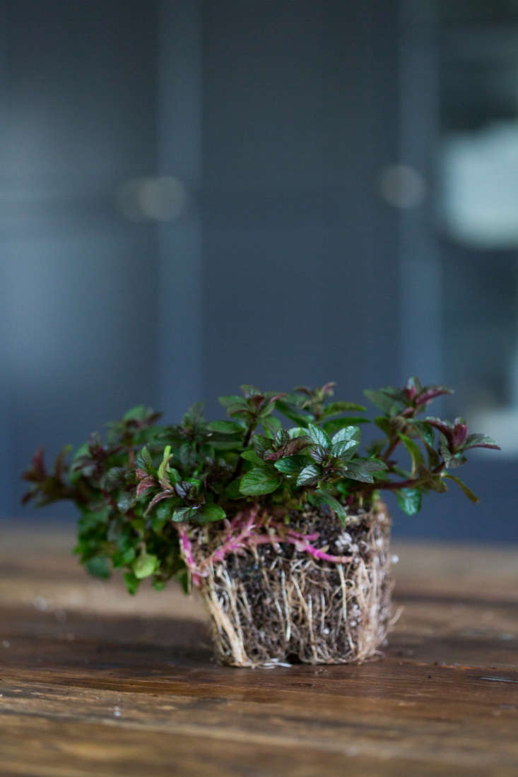 Chocolate Mint; a seedling in a 3-inch pot is $4.95 from Mountain Valley Growers.