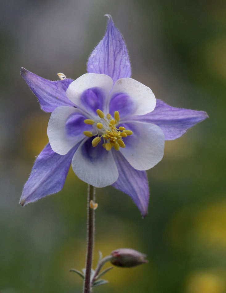 Columbines look like colorful blooming snowflakes. Here Aquilegia ottonis ssp amaliae blooms in Greece. Photograph by Miltos Gikas via Flickr.
