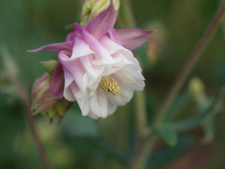 Columbines can have elaborately ruffled petticoats of petals. Here is &#8\2\16;Nora Barlow&#8\2\17;. Photograph by F.D. Richards via Flickr.