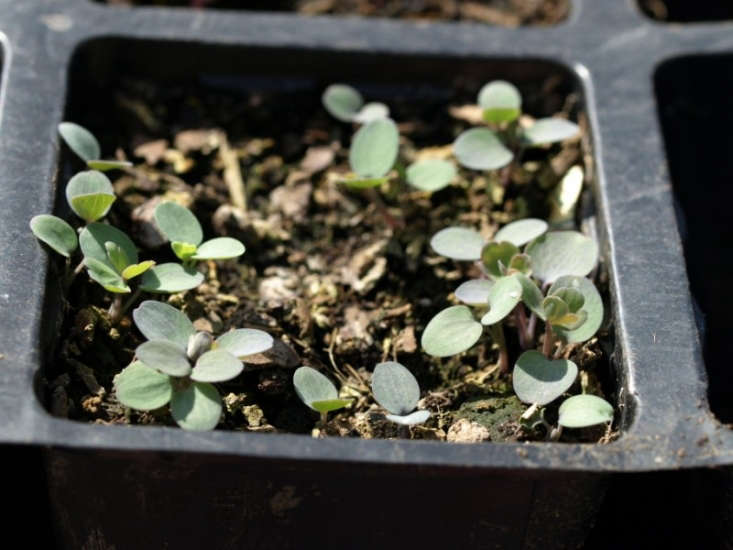 Columbine seeds sprout in early spring. Photograph by Nic via Flickr.