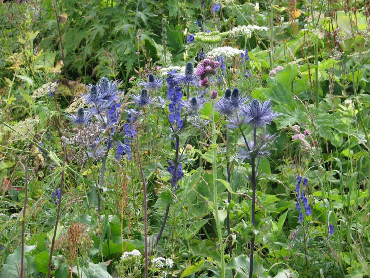 Eryngium alpinum grows among delphiniums in a naturalistic setting. Photograph by Peganum via Flickr.